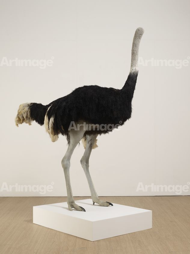 Enlarged version of Ostrich, 2009