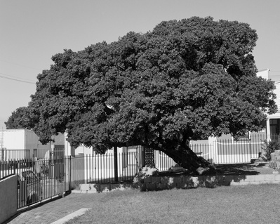 The Memory Of Trees 3 (Milkwood Tree, Cape Town), 2016
