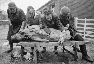 Pig killing: on the killing stool, Little Stainton, N.Yorksh...